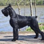Ризеншнауцер щенки чёрного окраса, Казань