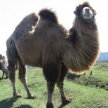 Верблюды племенные, Казань