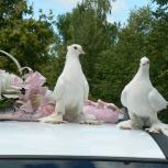 Голуби на свадьбу, фото съемка, Казань