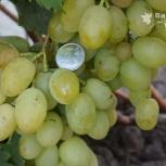 Черенки северных сортов неукрывного винограда почтой, Казань